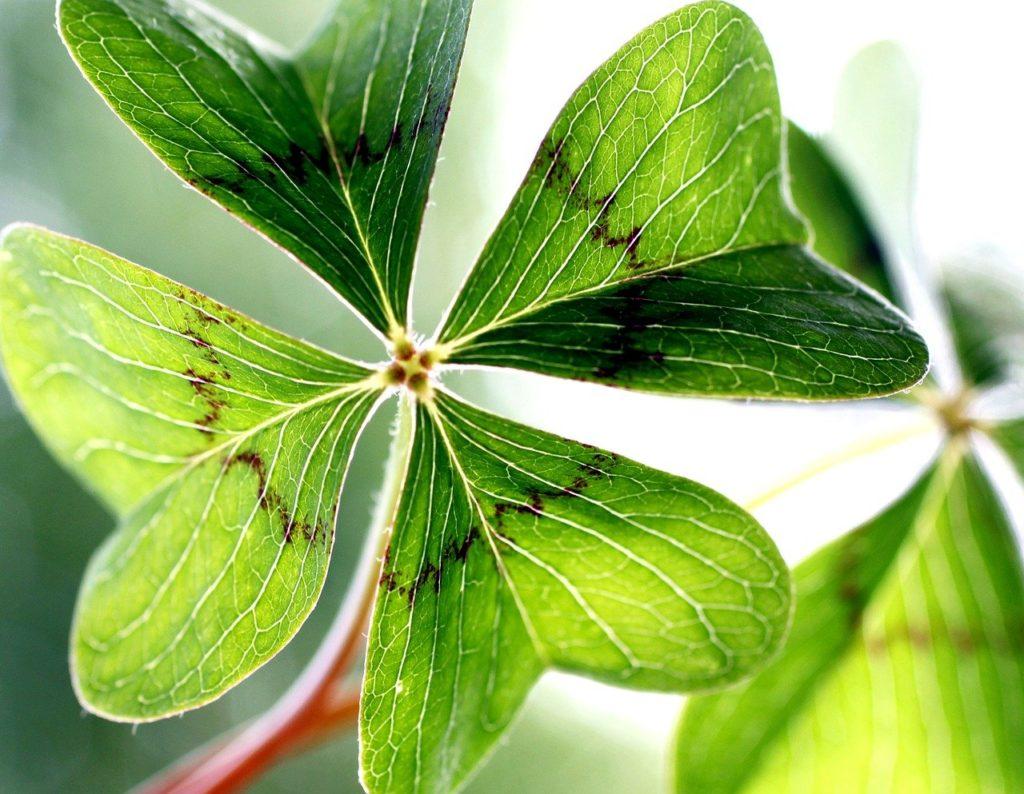 klee, lucky clover, garden